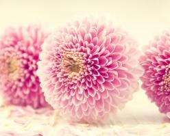 Shutterstock 159449873 rose