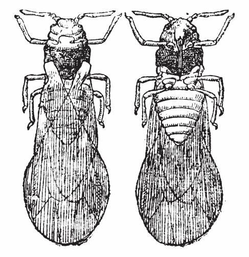 8382-phylloxeras shutterstock