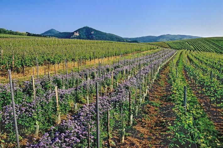 Les plantations des jeunes vignes